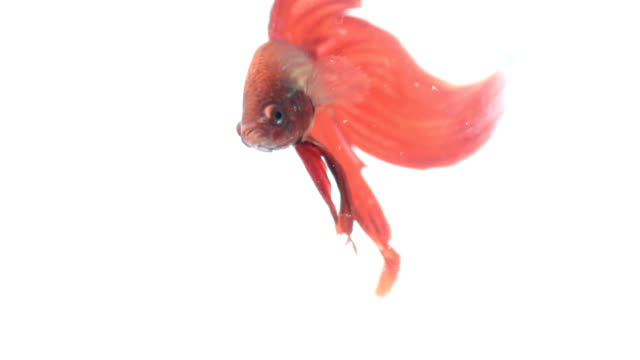 Red color siamese fighting fish with beautiful tail video