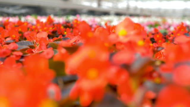 Red colored flowers in a Garden Blowing. Industrial plant growing greenhouse. 4K. video
