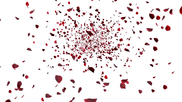 red colorful petals rose flying animation on white background, love and valentine day video