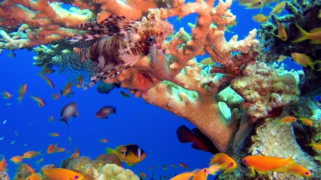 Red Coral Grouper Fish and Lion-Fish video