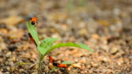 Red cotton bug video