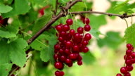 Red currant branch video