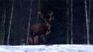 Red Deer in forest video