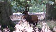 red deer rutting season video