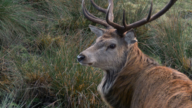 Red deer stag in the countryside of Dumfries and Galloway video