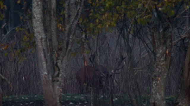 Red Deer video