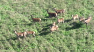 Red deers from helicopter video