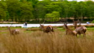 Red Deers running to their friends video