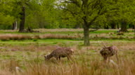 Red Deers searching on grass video