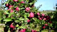 Red Delicious Apple Orchard video