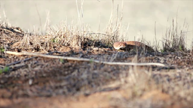 Red Diamond Rattlesnake video