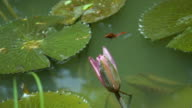 Red Dragonfly Landing On Waterlily Flower Slow Motion. video