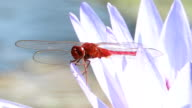 Red dragonfly video