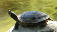 Red Eared Slider Turtle Resting video