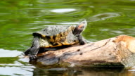 Red eared slider turtle video