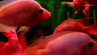 Red fish video