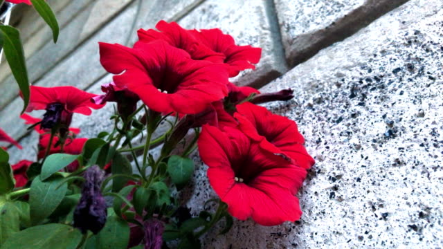 red flowers in a pot video