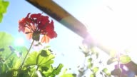 red flowers in sunny color flower bed video outdoor video