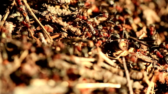 Red Forest / Wood Ants video