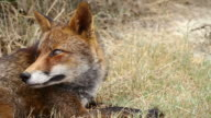 Red Fox Close Up Video video