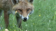 Red Fox Eating video