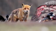 Red fox eats meat video