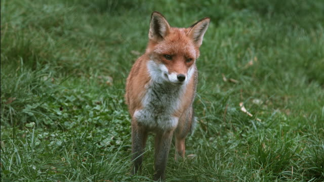 Red Fox, vulpes vulpes, Adult standing on Grass, Normandy, Real Time 4K video