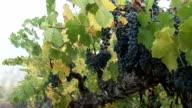 Red grape on vine video