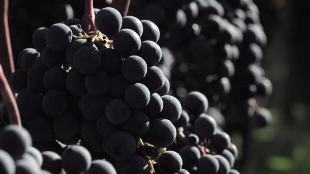 Red grapes ready to be harvested video