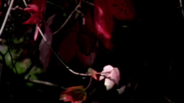 HD.  Red & Green Leaves.  Autumn Season. video