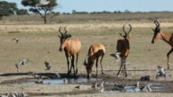 Red hartebeest and doves video