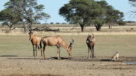 Red hartebeest and jackal video