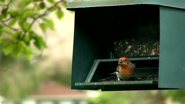 Red headed finch on a feeder video