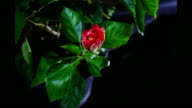 Red Hibiscus Flower Blooming in Time-lapse video