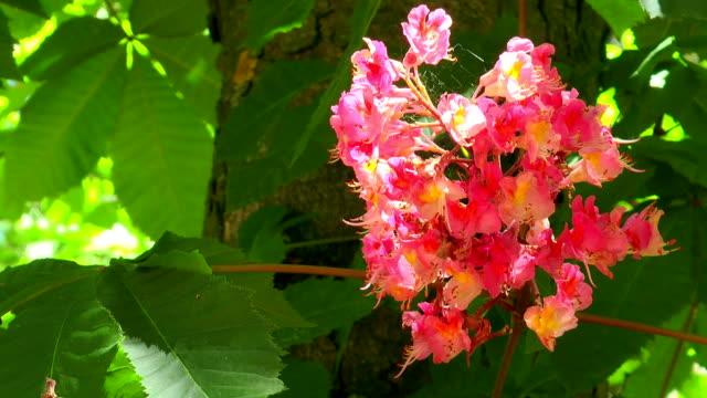 Red Horse Chestnut Bloom video