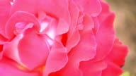 Red Irish rose 1 video