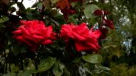 Red Irish rose 10 video