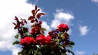 Red Irish rose 11 video