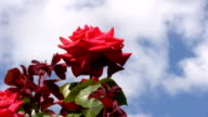 Red Irish rose 12 video