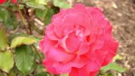 Red Irish rose 2 video