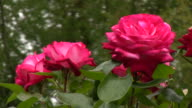 Red Irish rose 21 video