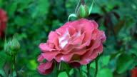 Red Irish rose 3 video