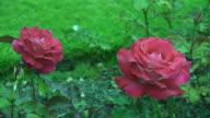 Red Irish rose 4 video