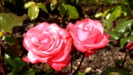 Red Irish rose 6 video