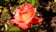 Red Irish rose 7 video