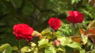 Red Irish rose video