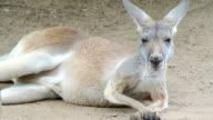 Red Kangaroo video