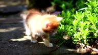 red kitten playing outdoors video
