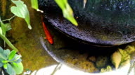 Red Koi fish swimming in water garden pond video