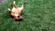 Red Lab Rolling In Grass video